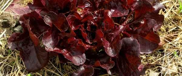 selbsternte-salat-rot-gemulcht-600x250-crop-50-50.jpg