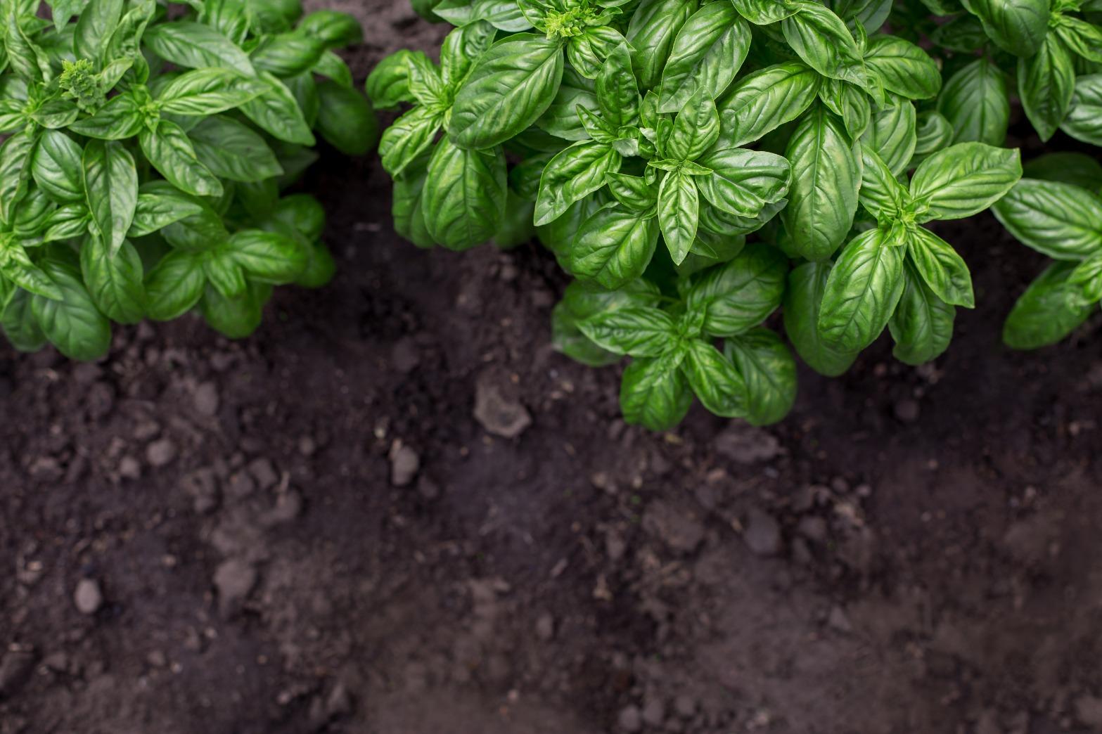 license-organic-green-basil-plant-in-the-garden-5559576.jpg