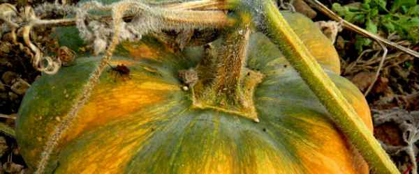 selbsternte-muskatkuerbis-600x250-crop-51-28.jpg